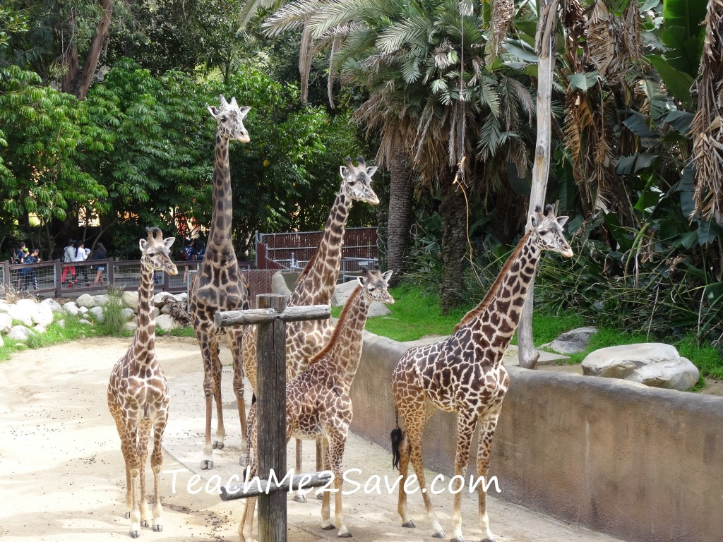 LA Zoo Giraffes