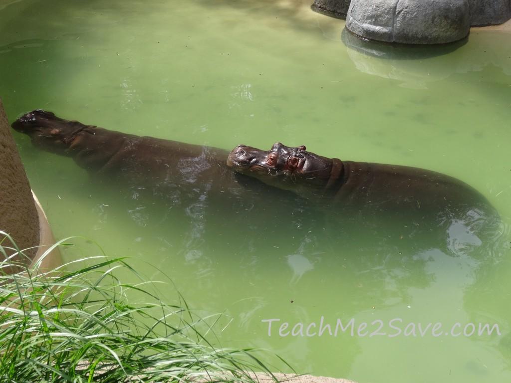 LA Zoo Hippo