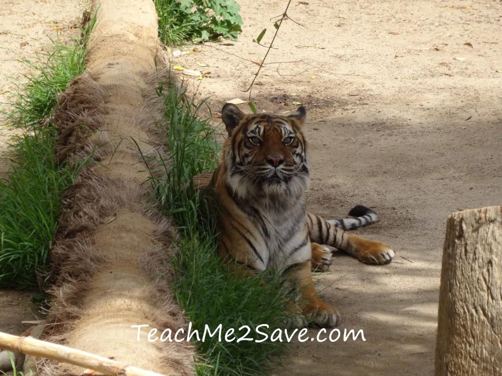 LA Zoo Tigers