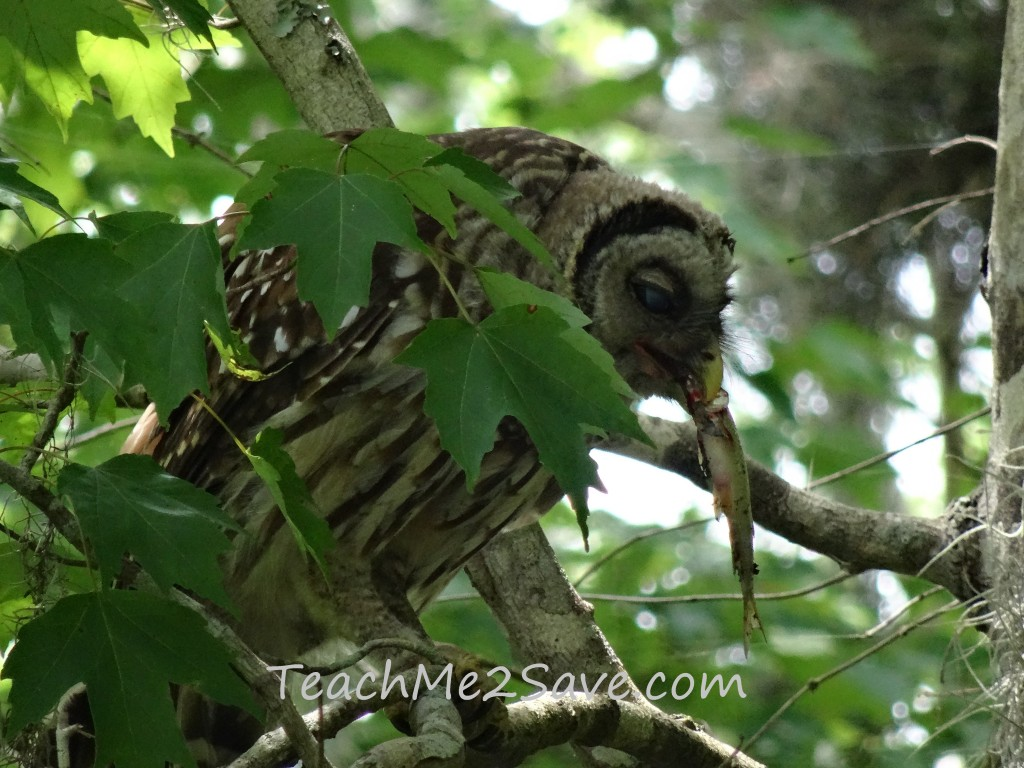 Barred Owl Eating on St. John's River - TM2S
