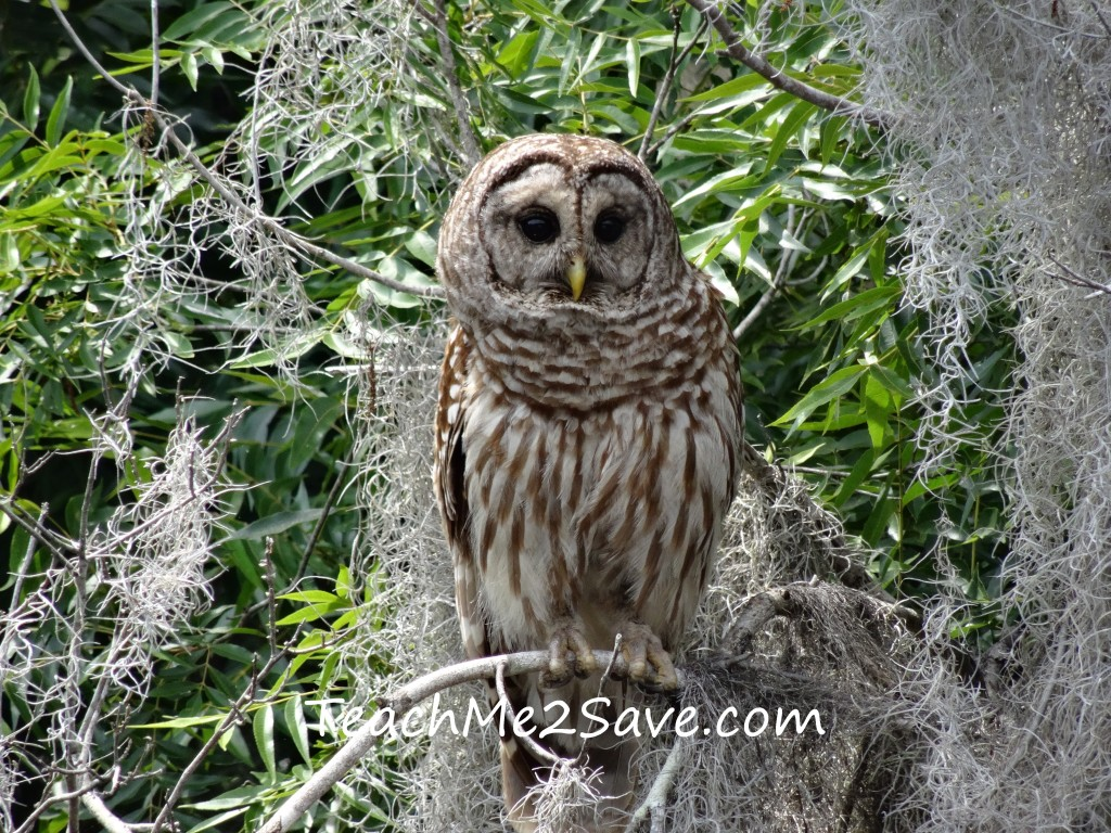 Barred Owl on St. John's River - TM2S