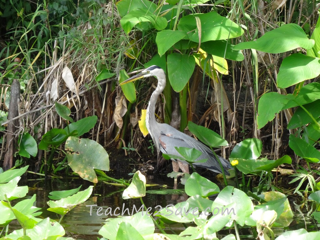 Tricolored Heron on St. John's River - TM2S