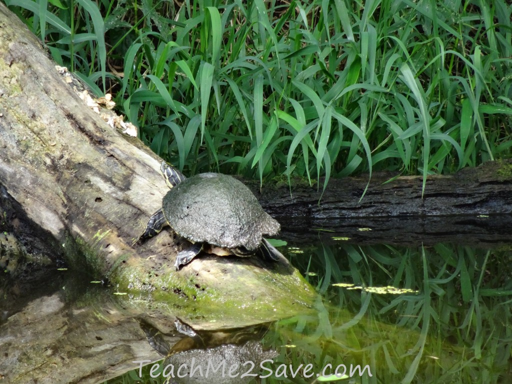 Turtle on St. John's River - TM2S