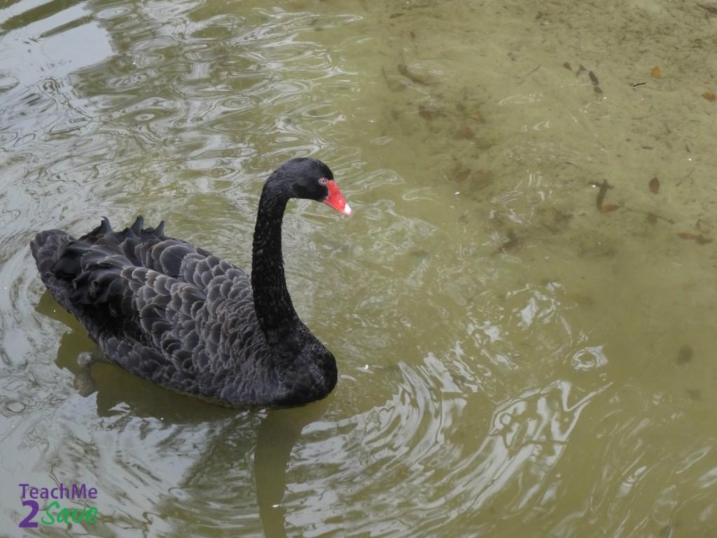 Black Swan - TM2S