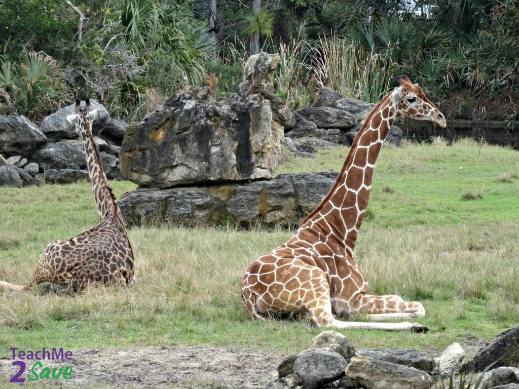 Giraffes - TM2S