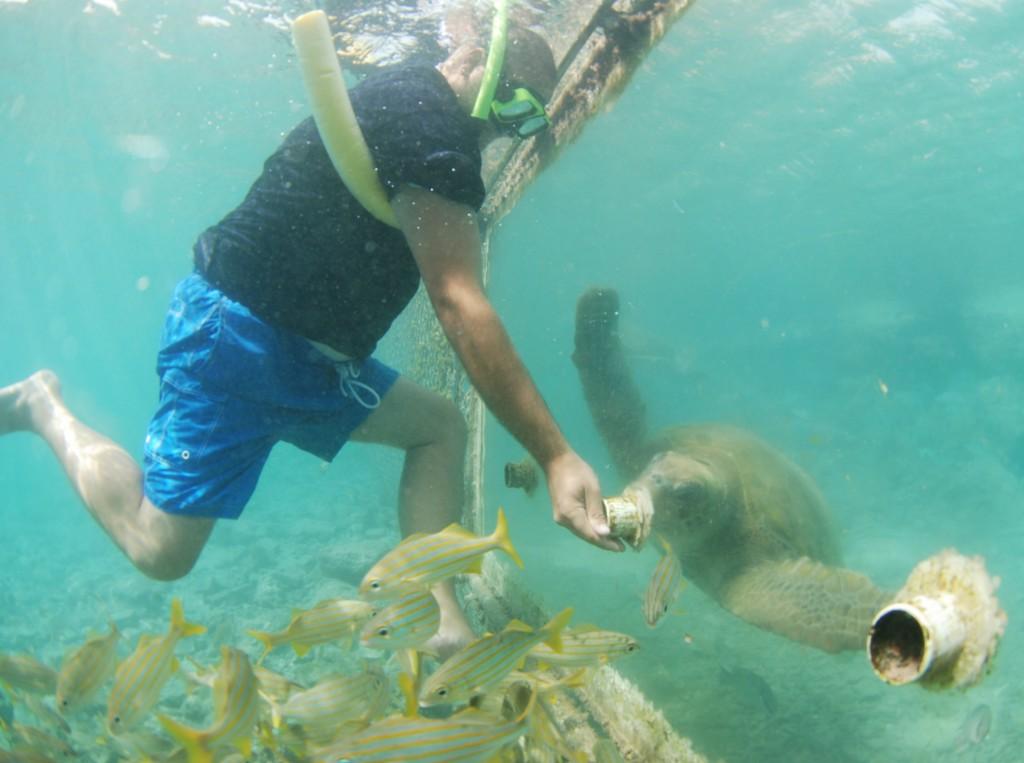 Curaçao Sea Aquarium - Feeding Sea Turtles 2