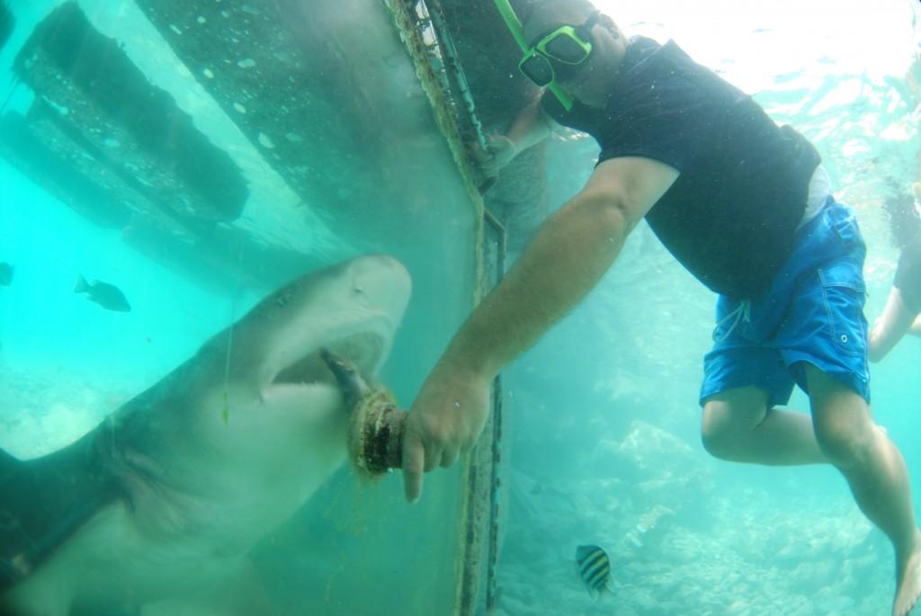 Curaçao Sea Aquarium - Feeding Sharks 3