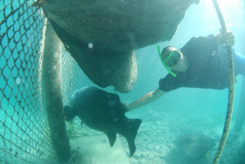 Curaçao Sea Aquarium - grouper Herbie 2
