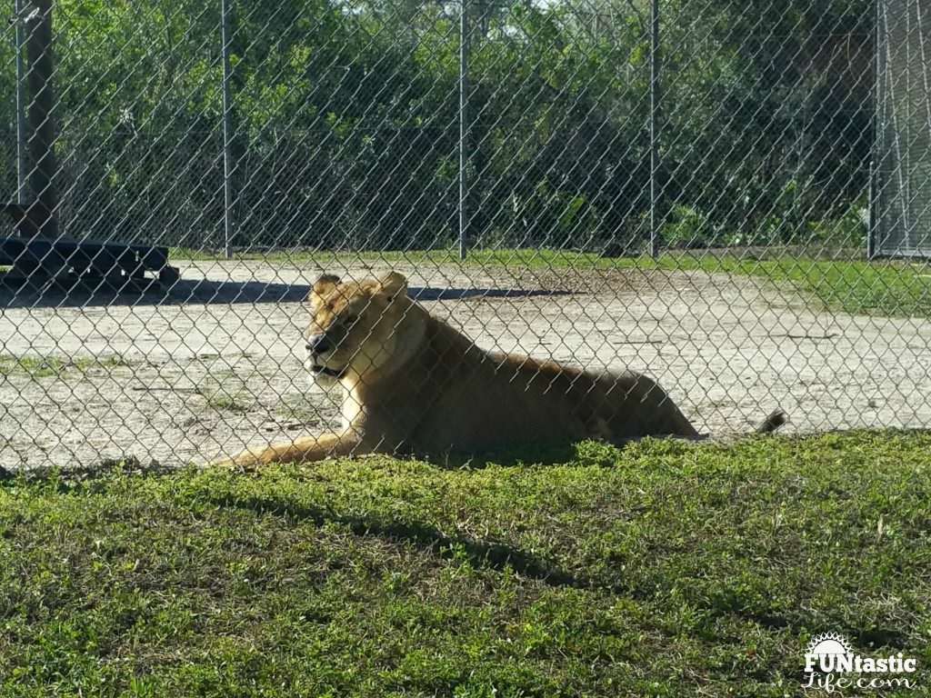 African Lion at Lion Country Safari -Funtastic Life