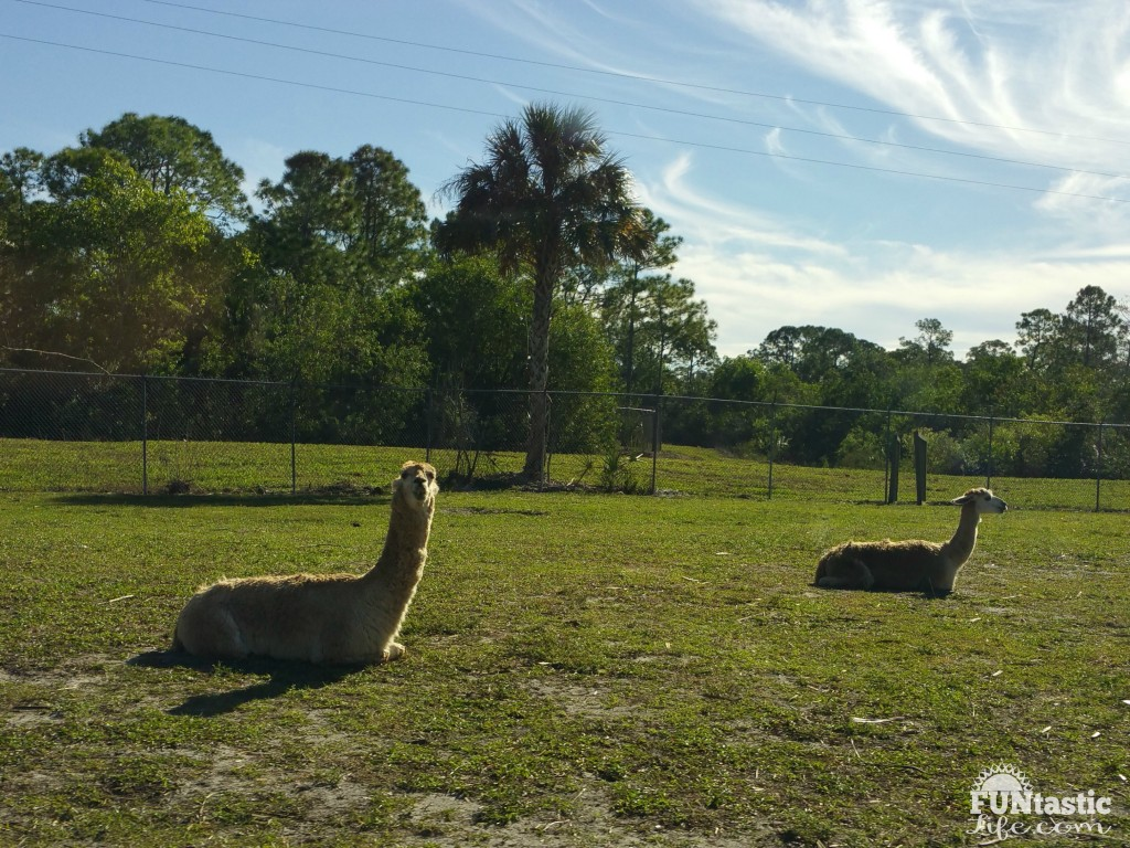 Alpacas at Lion Country Safari - Funtastic Life