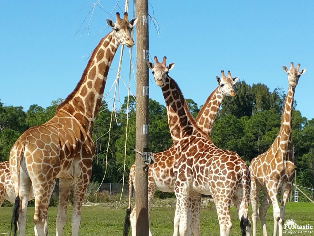 Giraffes at Lion Country Safari - Funtastic Life