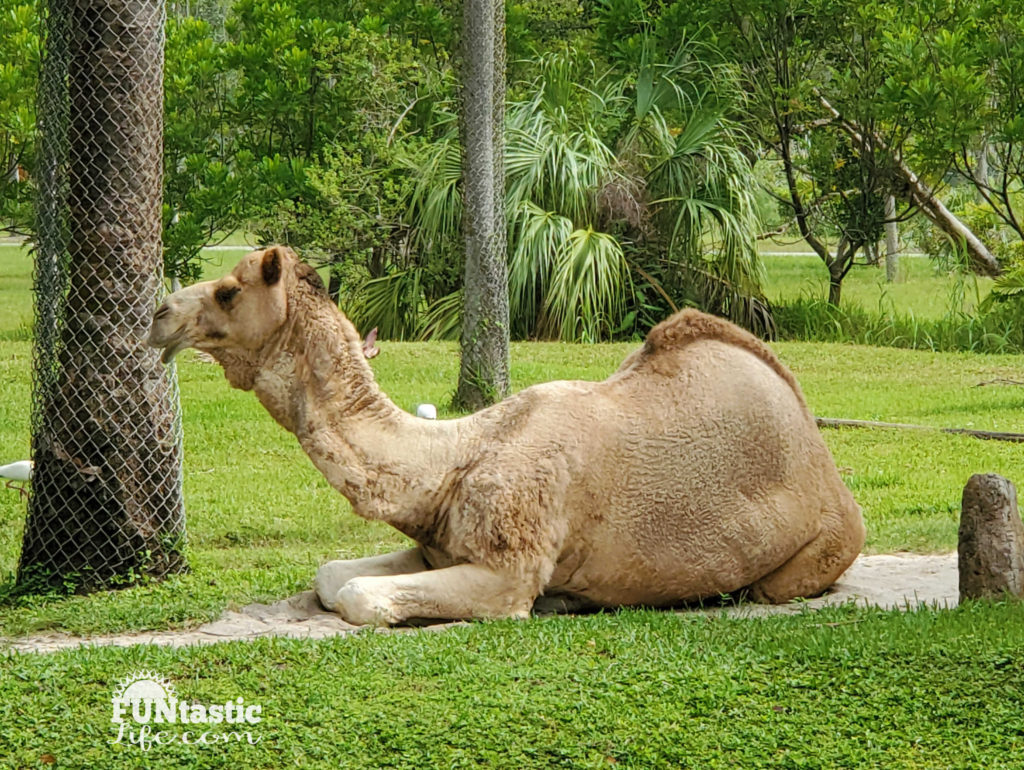 Camel laying on the grass