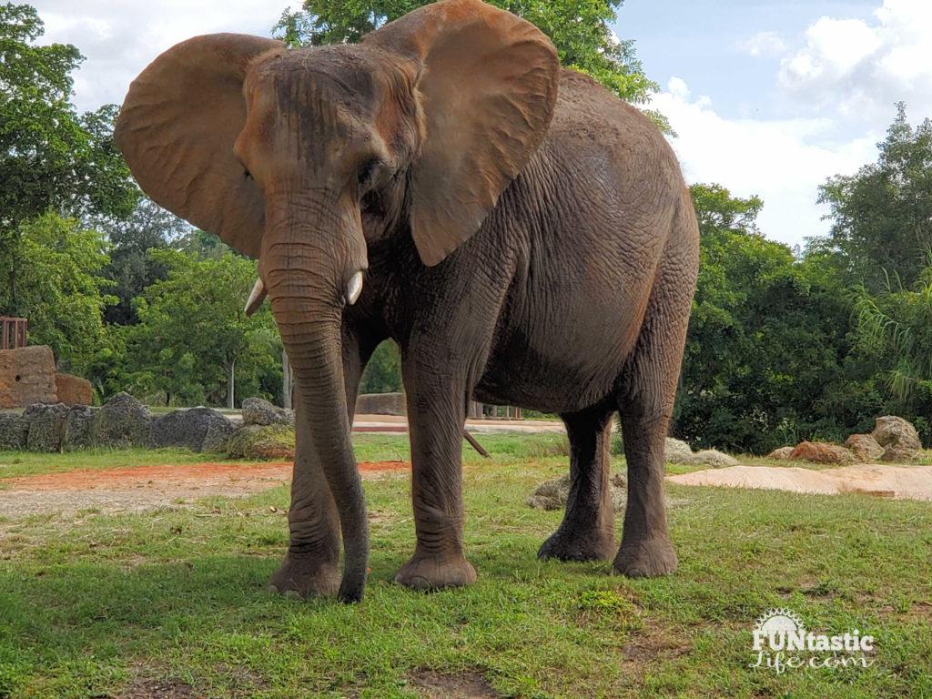 elephant showing off ears